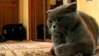 видео Основы воспитания британских кошек (часть-1)