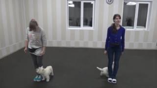 Вест хайленд вайт терьеры дрессировка. 20 месяцев, 8 месяцев. West highland white terrier training.