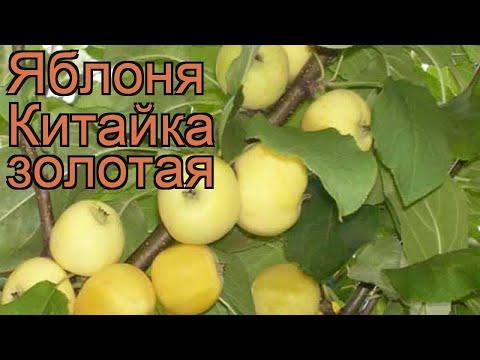 Яблоня золотистая Китайка золотая (malus) 🌿 обзор: как сажать, саженцы яблони Китайка золотая