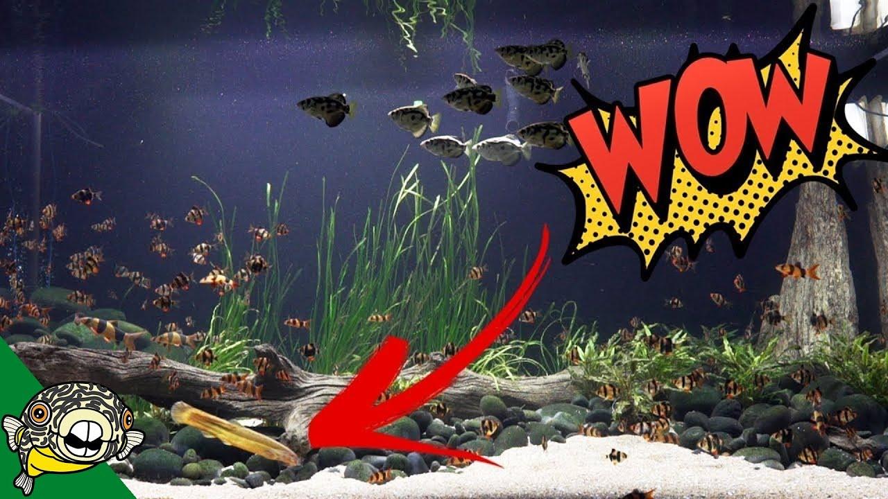dojo-loach-full-grown-in-the-800-gallon-aquarium