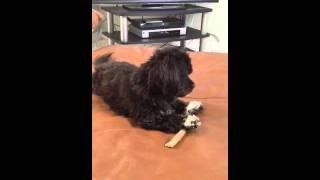 """""""scruffy"""" = Havashu Puppy - Shih Tzu /  Havanese Puppy Bully Bone"""