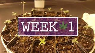 Week 1: Introducing the seedlings - Indoor Cannabis Grow Room