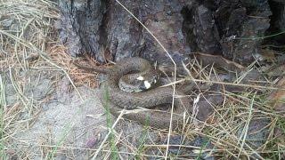 Grass snake, Užovka obojková