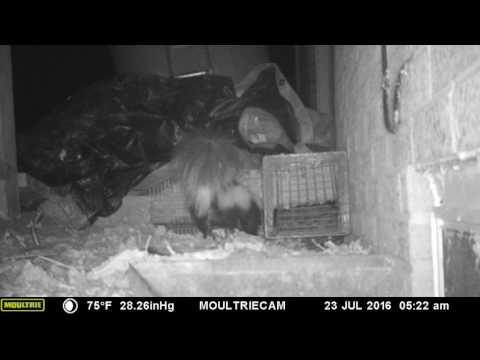 Skunk trying to dig past one way door
