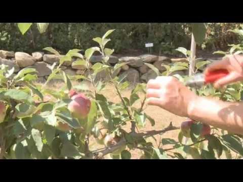 Pruning An Espalier Apple Youtube