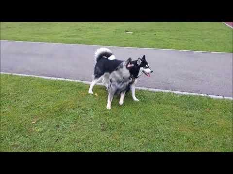 Alaskan Malamute and Karst Shepherd playing together