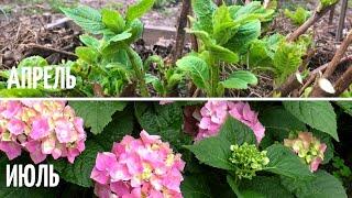 ЦВЕТЕНИЕ Гортензии После Подмерзания и Обрезки. КАК Ухаживать. Мои цветы.