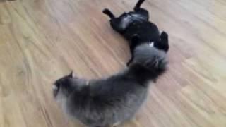 """Staffordshire Bull Terrier Vs Cat  """"best Friends"""""""