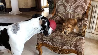 Great Dane puppy really wants cat to play with him