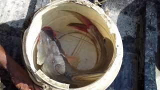 मछली पकड़ने के तरीके देख हो जाएंगे हैरान बगहा मे मछली पकड़ता मछुआरा