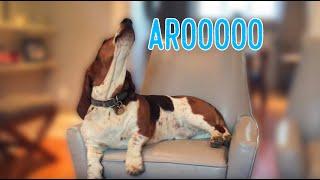 basset hound howling like a cow