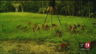 Video: Monkeys swarm Ocala man's property