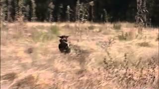 George Hickox Level 2 Labrador Retriever