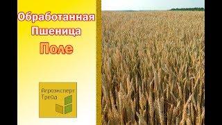 Пшеница, обработанная гуматом калия и микроудобрениями 1