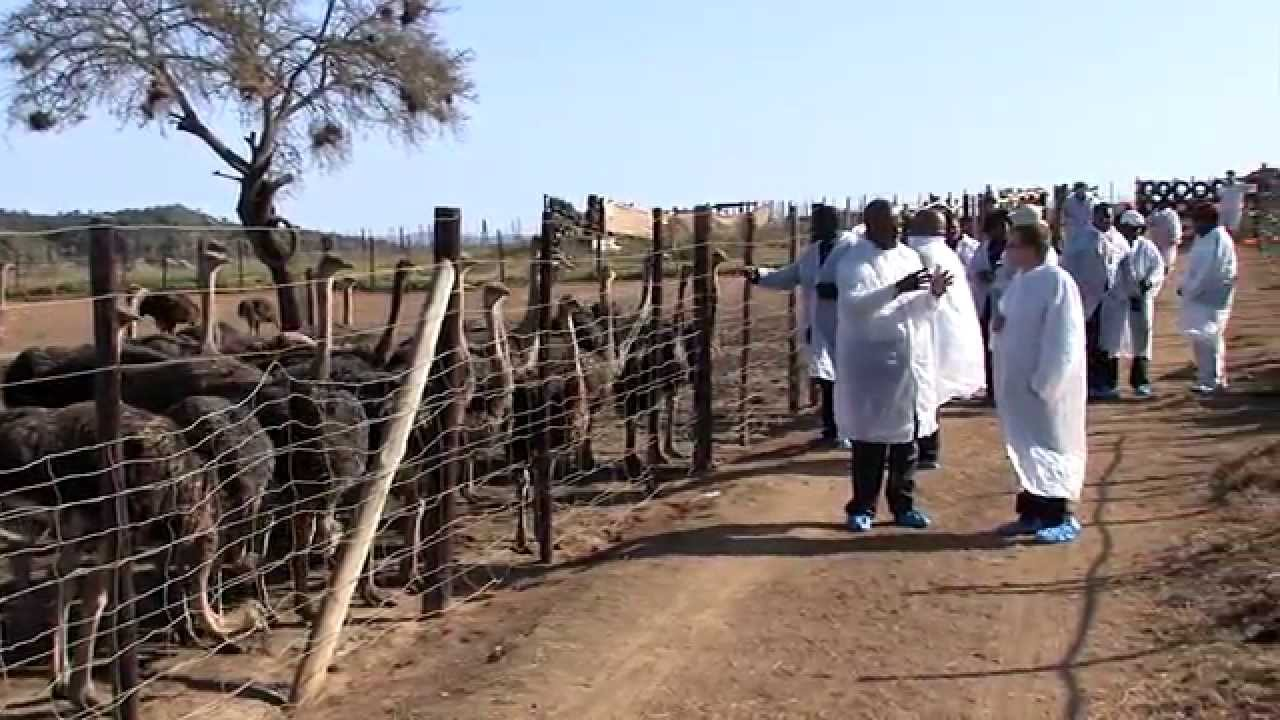 Kkgtt Small Scale Ostrich Farming In South Africa Youtube