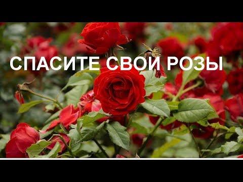 Розы// Как спасти от болезней и насекомых// Народные средства
