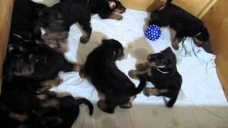 """щенки эрдельтерьера EST ETIAM """"R"""" - litter, DOB 9.02.2014"""