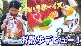 シロハラボーイズ お散歩 デビュー ! DJI osmo pocket  Lollimeow 【 きいさん シロハラインコ 】