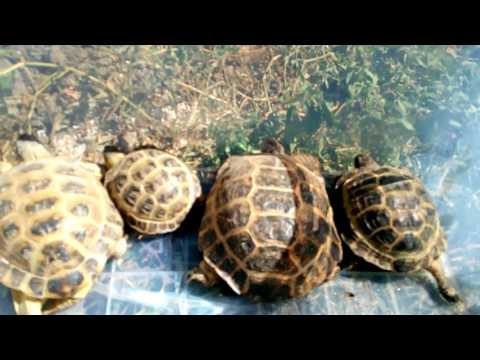 Вопрос: Какие различия между сухопутными и пресноводными черепахами?
