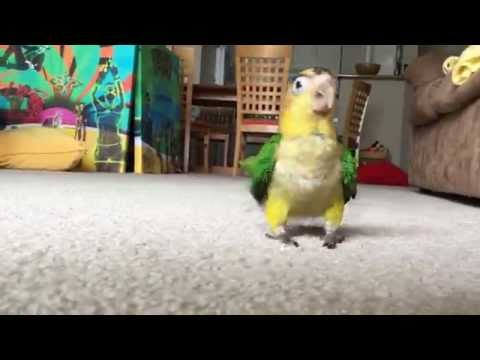 White Bellied Caique Parrot named Carrot is running Marathon, playing, hopping