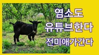 [염소도유튜브한다] 염소키우기 [전미애가간다] 염소가 …