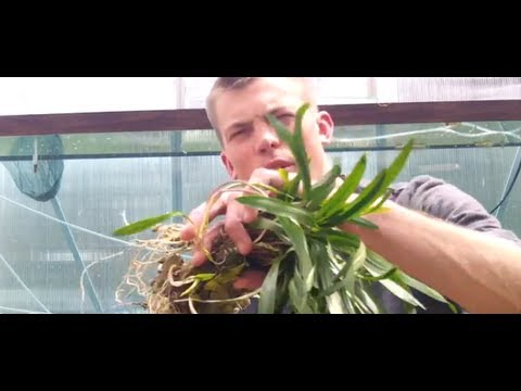 How to grow Cryptocoryne Spiralis. Crypt Spiralis is an Easy beginner Crypt.