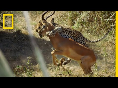Leopard Hunts An Impala | Savage Kingdom