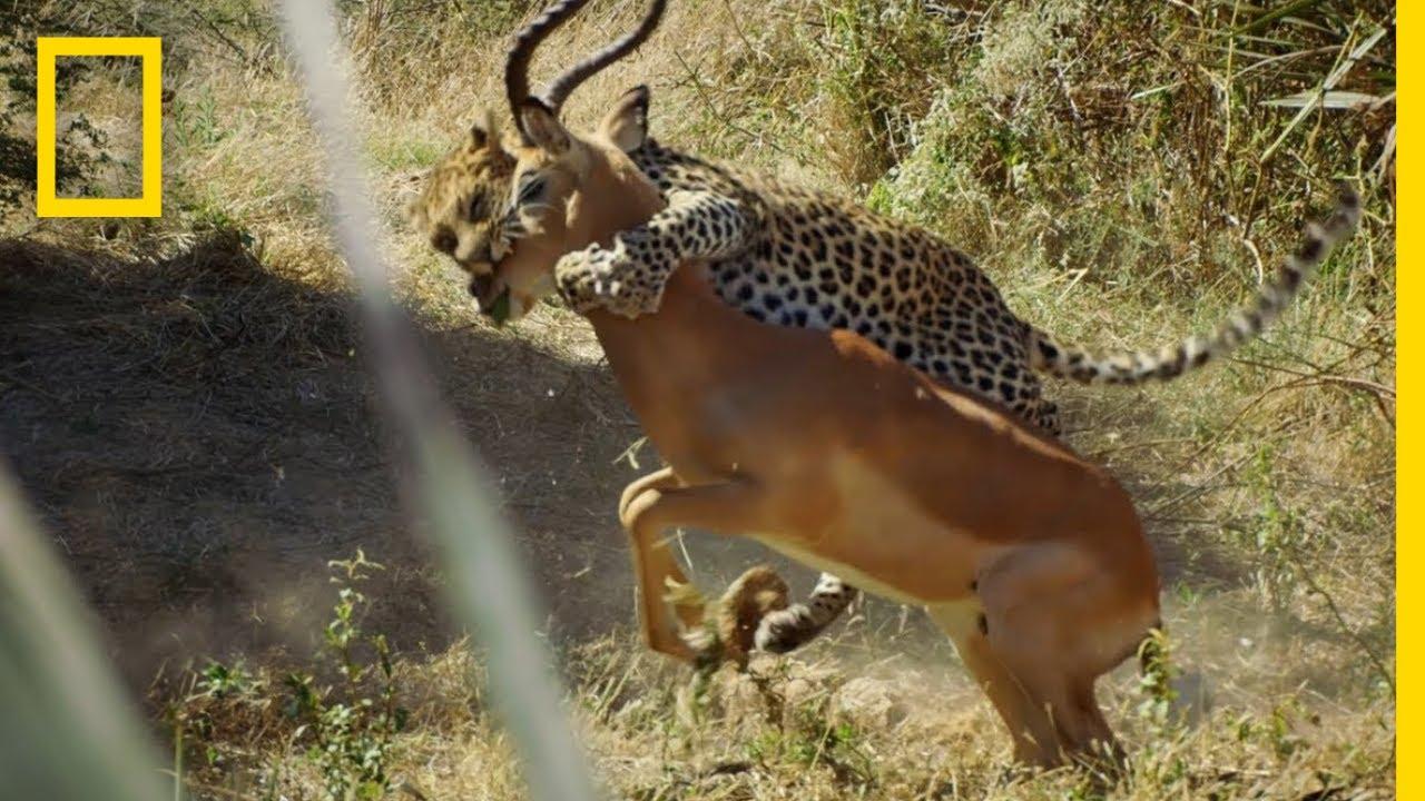 Download Leopard Hunts an Impala | Savage Kingdom