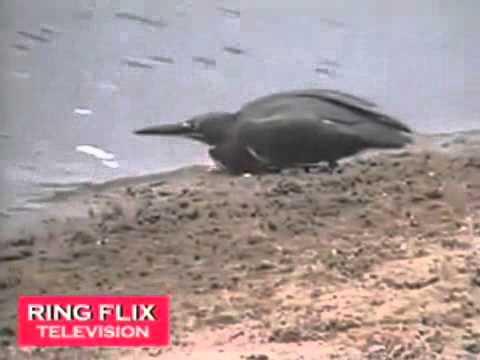 """Video  Chim """"câu"""" cá điêu luyện   Phi thường   kỳ quặc   Video clip chuyện lạ"""