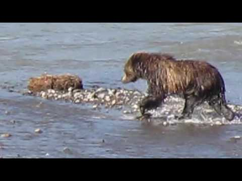 Grizzly Bear Running, Swimming, and Playing in the Lamar Valley, Yellowstone National Park