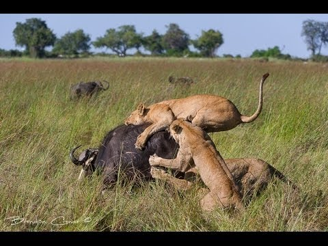 Documentary lion: lion