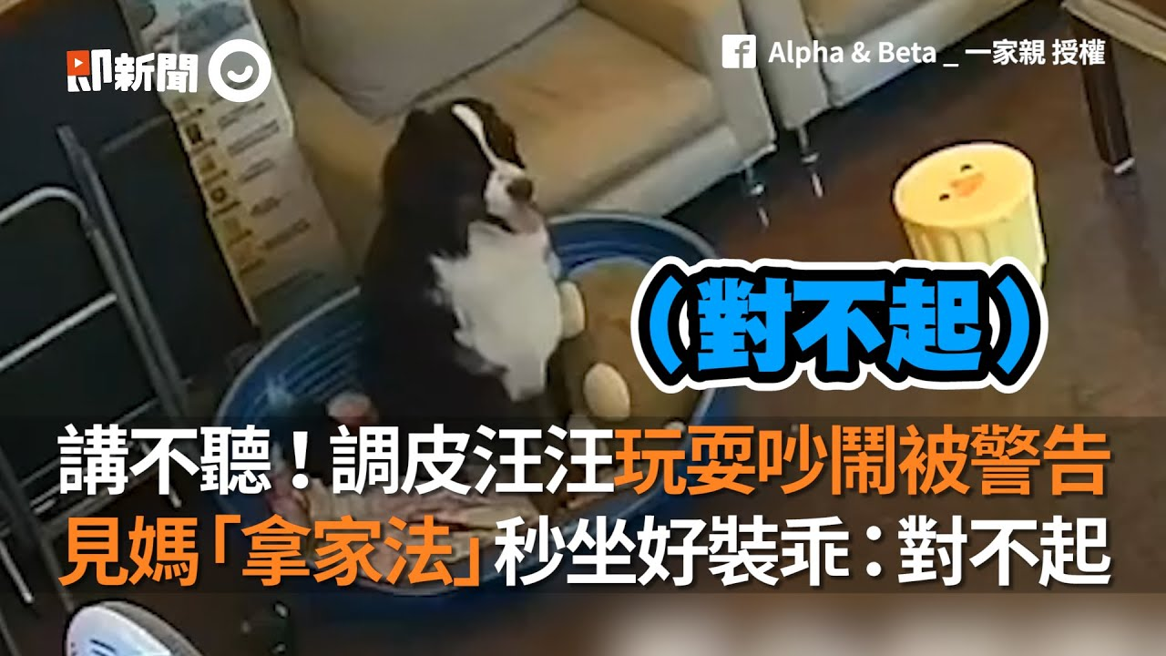 講不聽!調皮汪汪玩耍吵鬧被警告  見媽「拿家法」秒坐好裝乖:對不起│寵物│狗狗