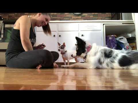Kiss Expert Tricks Dog   DMWYD