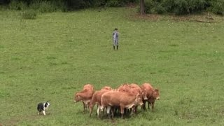 Élevage & Territoire 2016 - Épisode 3 : rassembler un troupeau de bovins en un éclair...