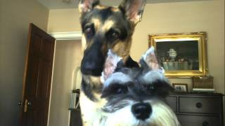 Asking my german shepherd and mini schnauzer a question