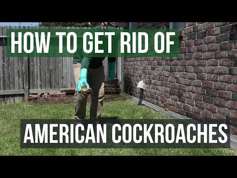 How to Get Rid of American Cockroaches (4 Easy Steps)