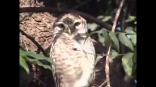 OWL Spotted staring