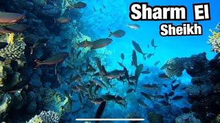 ЛУЧШИЙ СНОРКЛИНГ В ШАРМ ЭЛЬ ШЕЙХЕ Риф отеля Sheraton Sharm Hotel Отдых в Египте
