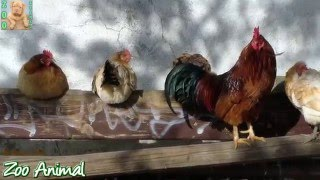 Chickens and Roosters on the farm animals - Farm animals video for Kids - Animais TV