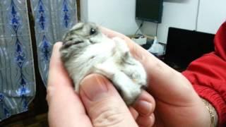 Russian hamster cute criceto russo coccole lecca le dita orsetto ru...