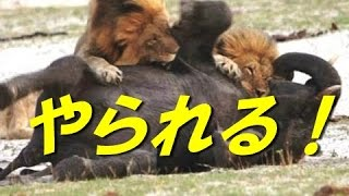 【ライオンVsゾウ】動物界の掟 ゾウまでもやられちゃうの? 【関連動画...