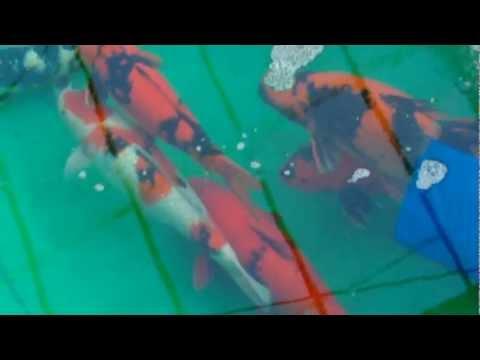 Shinoda koi farm big hi utsuri 80 cm youtube for Koi 80 cm te koop
