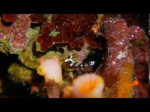 會瞬間移動的海葵蝦! Disappearing Act Of A Anemone Shrimp On Nikon AW130