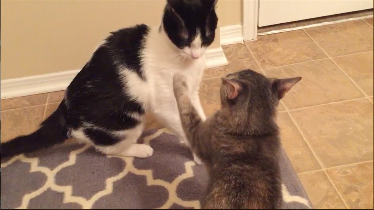 Cat Slaps Another Cat Youtube