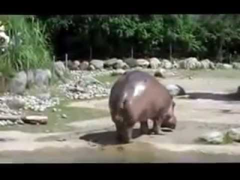 Hippo Shits Everywhere With Tail Whip