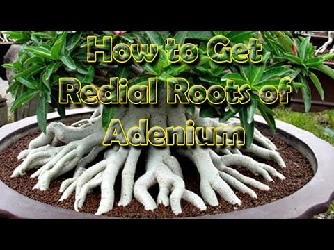 अडेनियम,  How to grow, Adenium (Desert rose) with Redial Roots, Be the Creator