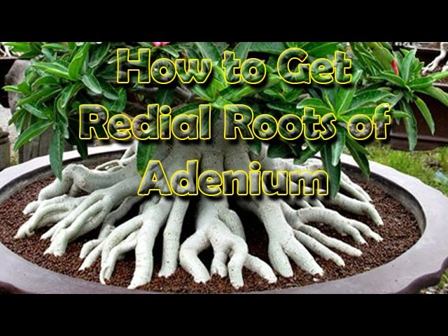 ???????,  How to grow, Adenium (Desert rose) with Redial Roots, Be the Creator