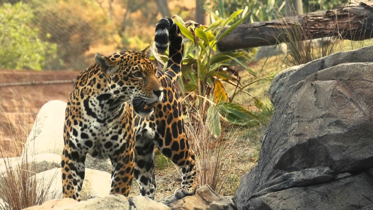 A leopard at the Los Angeles Zoo