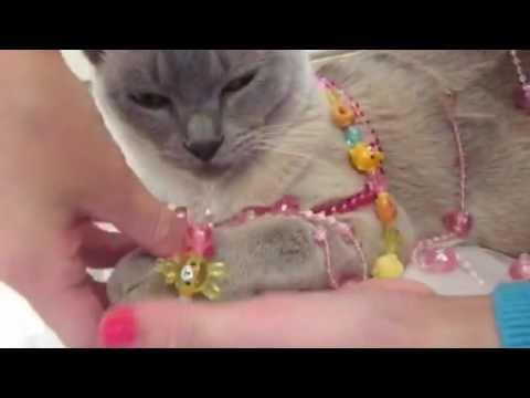 Burmese cat loves jewellery