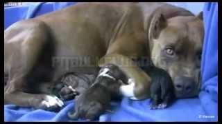 Pitbull geboorte